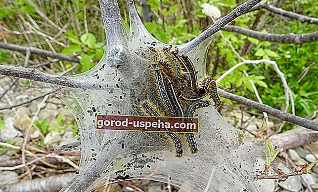 Kako se boriti proti luščenju gosenic?