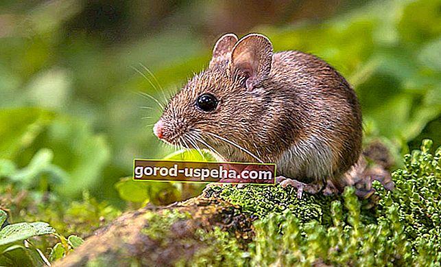 Kako trajno držati poljske miševe podalje?