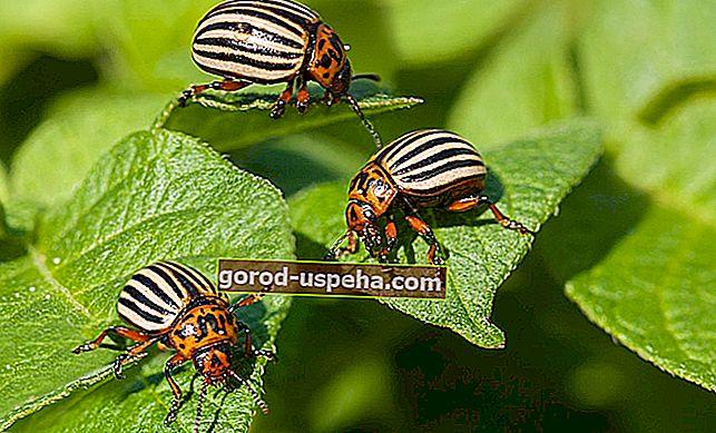 Bahçedeki Colorado böceklerini kontrol etmek için 5 ipucu