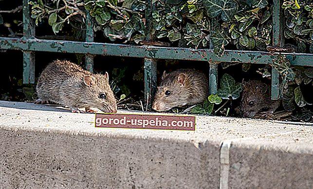 7 rješenja kako se riješiti štakora u kući