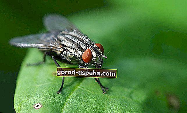 Kako držati muhe podalje od kuće?