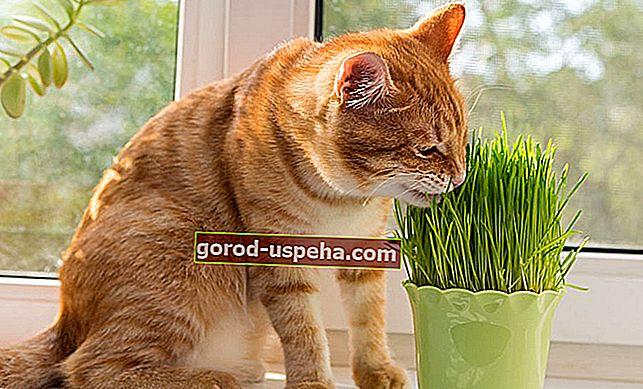 Uzgoj mačje trave kod kuće ili u vašem vrtu