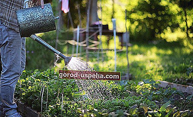 Previše vode: kako spasiti svoje biljke