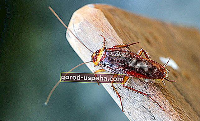 Kako se boriti protiv žohara u kući?