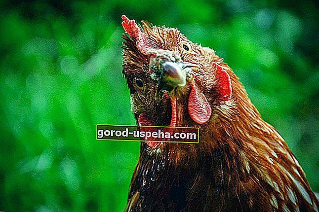 6 sfaturi și reguli de urmat pentru a avea găini acasă