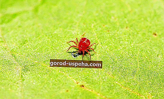 Cum să lupți împotriva păianjenilor roșii?