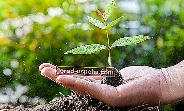 6 порад щодо вирощування дерева авокадо в домашніх умовах