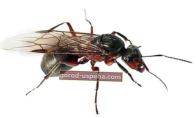 Как уберечь муравьев от дома?