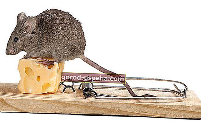 Как се хваща мишка в къща?
